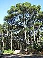 Árvores em Morro Reuter 005.JPG