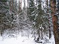 Зимний лес - panoramio (6).jpg