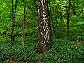 Ковер из барвинка в лесу на склоне горы Казачья.jpg