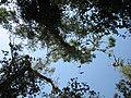 Колонія бакланів на о.Круглик, вид знизу.jpg