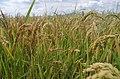 Ориз во Кочанско 18.jpg