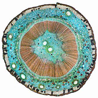 Поперечный срез стебля Ginkgo biloba.jpg