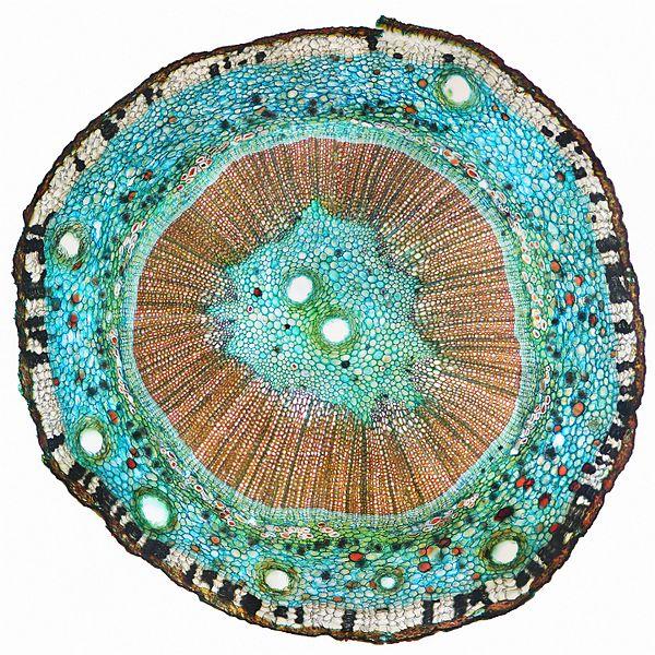 File:Поперечный срез стебля Ginkgo biloba.jpg