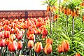 Фритиллярии и тюльпаны Эрмитаж в Висячем саду.JPG