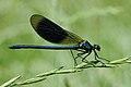 ♂ Gebänderte Prachtlibelle Calopteryx splendens 4 (cropped).JPG