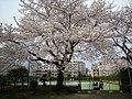 テニスコートの桜 - panoramio.jpg