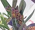 報歲吉福龍梅 Cymbidium sinense 'Auspicious Dragon Prune' -香港花展 Hong Kong Flower Show- (12205170346).jpg