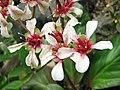 峨眉岩白菜 Bergenia emeiensis -日本大阪鮮花競放館 Osaka Sakuya Konohana Kan, Japan- (40419253720).jpg