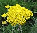 盾狀蓍草 Achillea clypeolata -維也納高山植物園 Belvedere Alpine Garden, Vienna- (28641313214).jpg