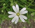 硬骨繁縷(硬骨鵝腸草) Stellaria holostea -比利時 Leuven Botanical Garden, Belgium- (9240151374).jpg