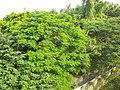 竹溪旁的鳳凰樹 - panoramio.jpg