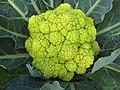 綠椰菜花 Brassica oleracea v botrytis 'Vita Verde' -香港漁農美食嘉年華 Hong Kong Farmfest- (24244249076).jpg