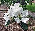 蘋果 Malus domestica Court Pendu Rosat -比利時 Ghent University Botanical Garden, Belgium- (9237481743).jpg
