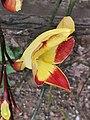 跳舞女郎 Thunbergia mysorensis 20200307185911 03.jpg