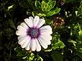 雛菊 Daisy - panoramio (1).jpg