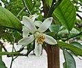香櫞 Citrus medica -比利時國家植物園 Belgium National Botanic Garden- (16733125972).jpg