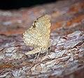 -1874- Dingy Shell (Euchoeca nebulata) (42647883312).jpg