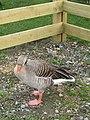-2019-03-08 Greylag Goose (Anser anser), River Bure, Wroxham (2).jpg