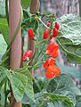 -2020-06-30 Runner beans in flower (Phaseolus coccineus), Trimingham, Norfolk (1).JPG