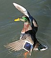 027 - MALLARD (Northern x Mexican hybrid male) (12-5-2016) farmington, san juan co, new mexico -c(4) (30879006974).jpg