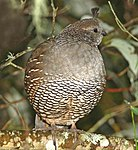 069 - CALIFORNIA QUAIL (!0-17-09) canet rd, slo co, ca (8719817146).jpg