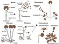 06 05 esporangioforos, esporangios, conidios, liberación de esporas, Mucorales, Zygomycota (M. Piepenbring).png