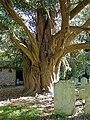 1000 year old yew tree, Walberton - geograph.org.uk - 1016115.jpg