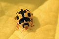 14-spot ladybird (Propylea quatuordecimpunctata).jpg