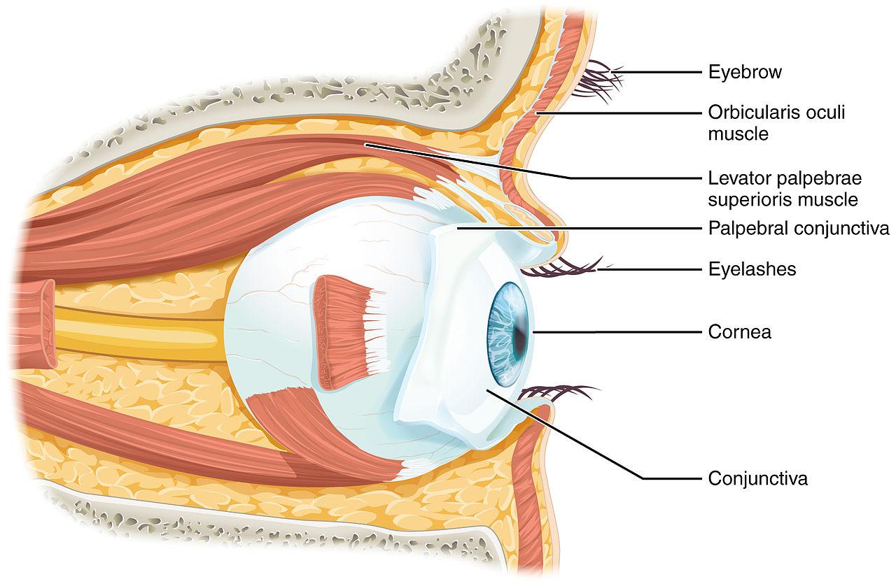 File:1411 Eye in The Orbit.jpg - Wikimedia Commons
