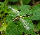 14 05 2015 Gomphus vulgatissimus - Common Clubtail - Gemeine Keiljungfer 02.jpg