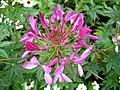 1808 - Salzburg - Mirabellgarten - Flower.JPG