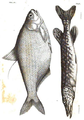1844 BostonJournal NaturalHistory v4 illus1.png
