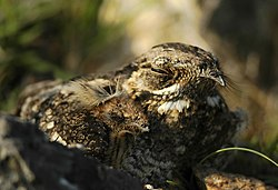 2005-grey-nightjar-with-chick.jpg