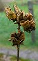 2007-01-04Alcea rosea03.jpg