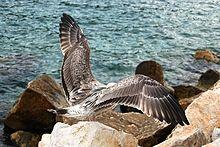 Immaturo di Gabbiano reale mediterraneo sulla scogliera di Porto Venere