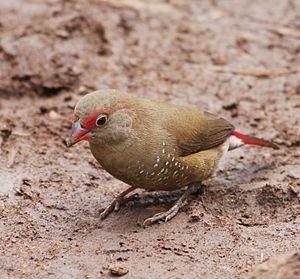 Red-billed firefinch - Image: 2009 0712 Lago Sene Ethiopia Bahir Dar 163