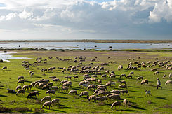 20101020 Sheep shepherd at Vistonida lake Glikoneri Rhodope Prefecture Thrace Greece.jpg