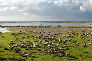 20101020 Sheep shepherd at Vistonida lake Glikoneri Rhodope Prefecture Thrace Greece.jpg