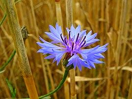 Un bleuet (Centaurea cyanus). (définition réelle 3264×2448)