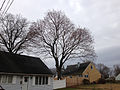 2014-12-28 11 40 55 Norway Maple on Terrace Boulevard in Ewing, New Jersey.JPG