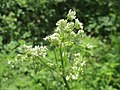 20140413Anthriscus sylvestris.jpg
