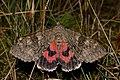 20150829 - 23.52 Rood Weeskind (Catocala nupta) 1.jpg