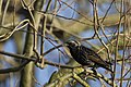 20151122 060 weerdbemden Spreeuw, Common Starling, Star, Sturnus vulgaris (22814027957).jpg