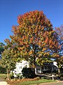 2017-11-10 15 01 08 Pin Oak during late autumn along Dairy Lou Drive near Franklin Farm Road in the Franklin Farm section of Oak Hill, Fairfax County, Virginia.jpg