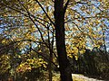 2017-11-23 12 45 13 Trees in late autumn along a walking path in the Franklin Farm section of Oak Hill, Fairfax County, Virginia.jpg