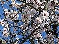 2018-02-20 Almond blossom, Vale da Azinheira, Albufeira (2).JPG