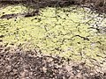 2019-03-20 16 58 14 A dried-up vernal pool filled with algae in a wooded area within Horsepen Run Stream Valley Park in Oak Hill, Fairfax County, Virginia.jpg