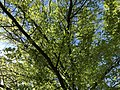 2019-04-27 14 15 44 View up into the canopy of a Pin Oak leafing out in mid-Spring along Nestlewood Drive in the Franklin Farm section of Oak Hill, Fairfax County, Virginia.jpg