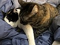 2020-03-22 09 09 58 A Tabby cat and a Calico cat cuddling on a bed in the Franklin Farm section of Oak Hill, Fairfax County, Virginia.jpg