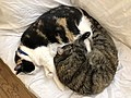 2020-04-04 02 09 24 A Calico cat and a tabby cat cuddling on a couch in the Franklin Farm section of Oak Hill, Fairfax County, Virginia.jpg